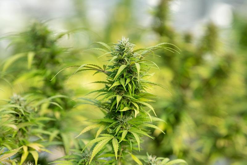Test de adicción al cannabis para saber si eres adicto a los porros o la marihuana.