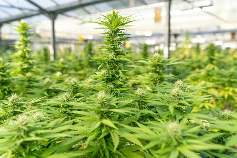 plantas de marihuana y el test de adicción al cannabis.